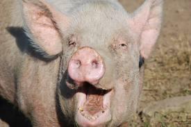 GREEDY PIG Thats Me