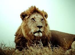 LION Victor